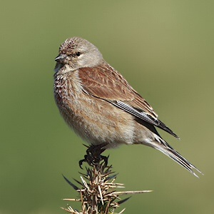 A picture of a bird, quite probably a linnet